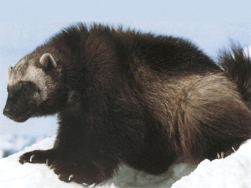 http://animals.timduru.org/dirlist/wolverine/Wolverine_08-Sitting_on_snow-Closeup.jpg