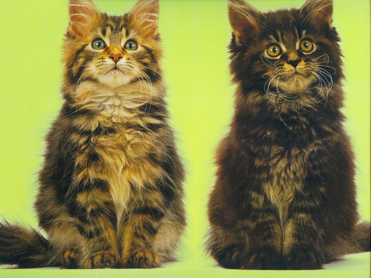 [!-13-Royal-Canin-Calendar-Main-Coon-Kittens-wall-TR.jpg]