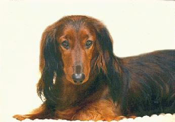 [DACHSHUND1_DOG.JPG]