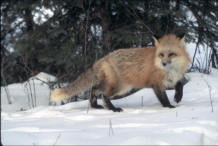 http://animals.timduru.org/ids/albums/fox/042002-SnowRedFox-LooksBack.jpg