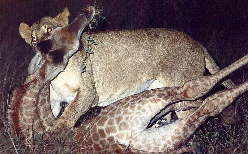 羊狮子长颈鹿大象