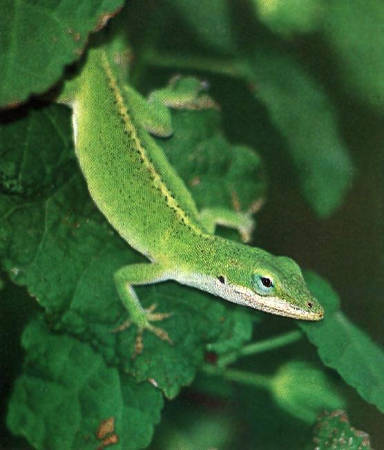 [GreenAnole-Lizard-LookingDown-OnLeaf.jpg]
