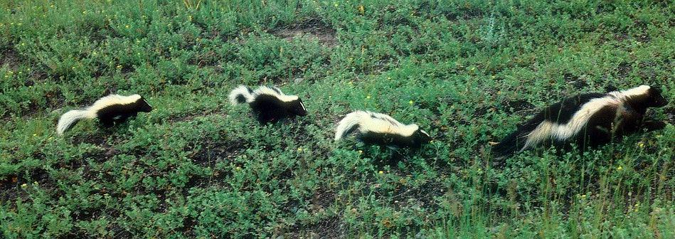 Prairie grassland biome animals