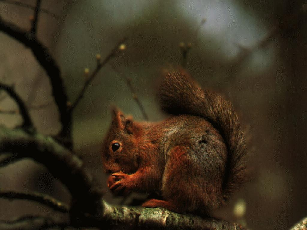[AmericanRedSquirrel-Eating_Nut-animal18.jpg]