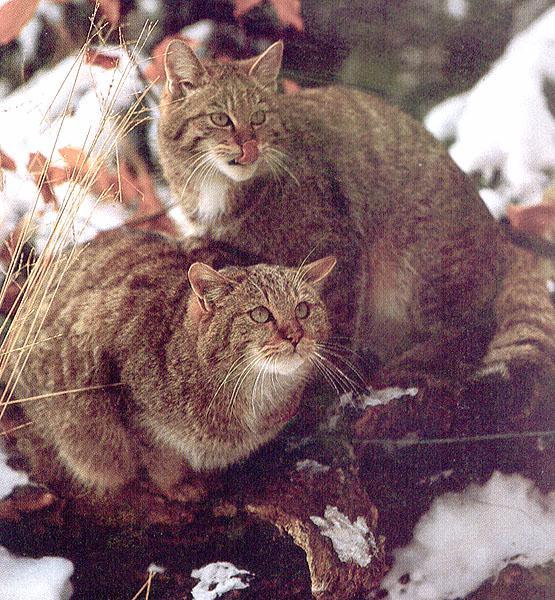 http://animals.timduru.org/ids/albums/wildcat/wildcat54-wildcat3.jpg