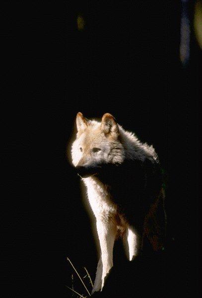 Wolf - Page 2 15530070-GrayWolf-InShadow
