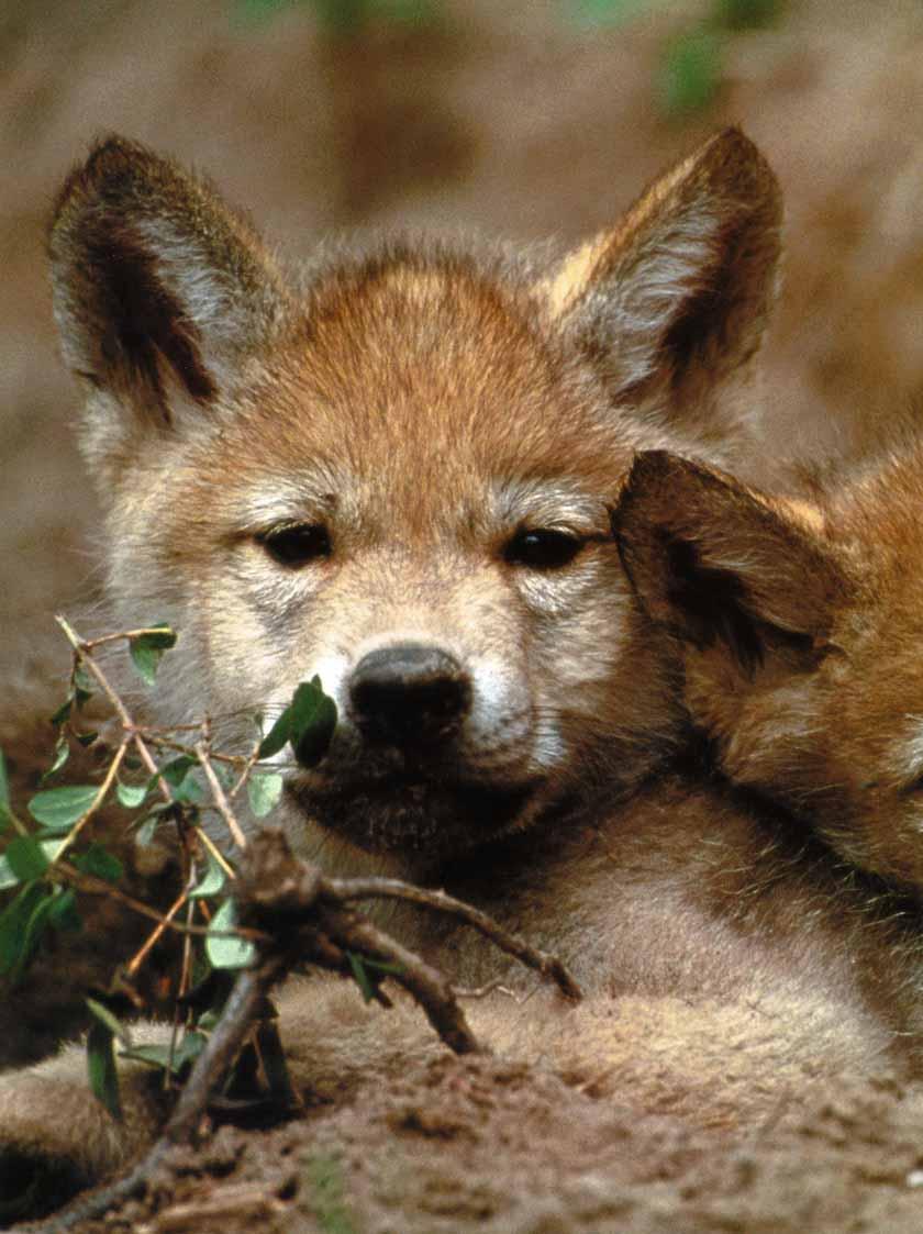 Wolf - Page 2 GrayWolf-02_CutePuppy-Closeup