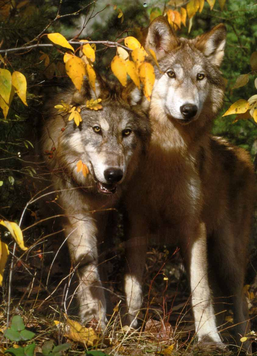 Wolf - Page 2 GrayWolf-16_2Adults-InForest