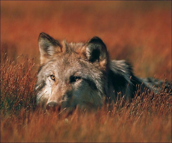 Wolf - Page 2 GrayWolfSong_05-FaceCloseup-InBush
