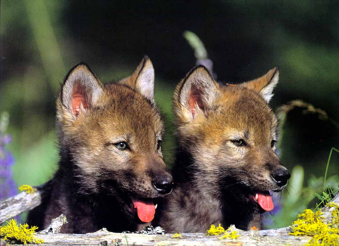 Wolf - Page 2 GrayWolf_Wolves101-2Puppies-FaceCloseup