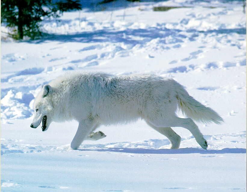 Wolf - Page 2 GrayWolf_X-WhiteFur-Runs_InSnow