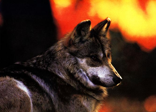 Wolf - Page 2 MexicanGrayWolf-LooksBack-Closeup