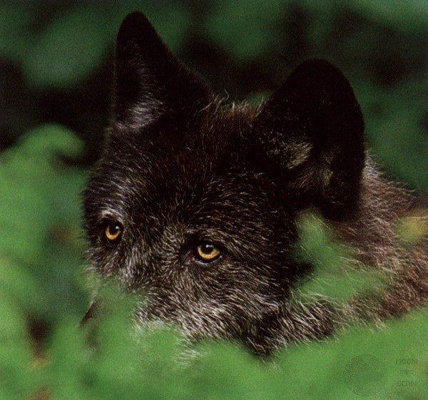 Wolf - Page 2 Ghost04-GrayWolf-BlackFur-Face_hidden_in_forest