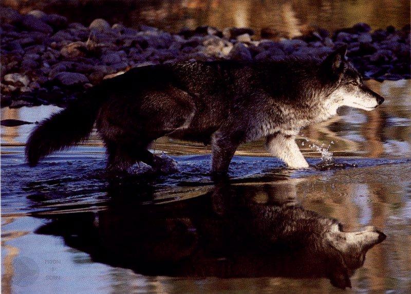 Wolf - Page 2 Ghost08-GrayWolf-Walks_in_stream-WaterReflection